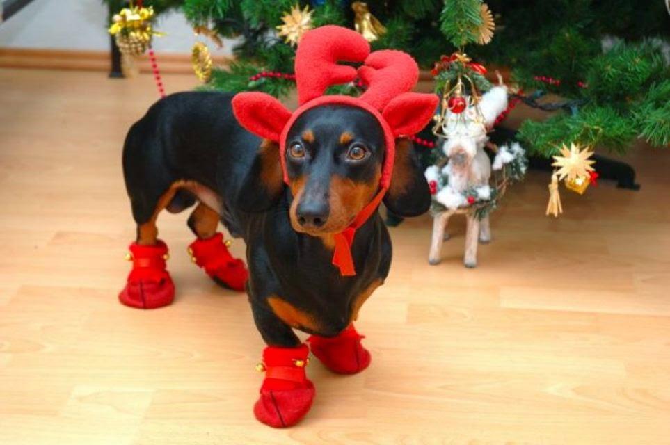 natal, cachorro, gato, hamster, porquinho da india, fantasiado, christmas, pets